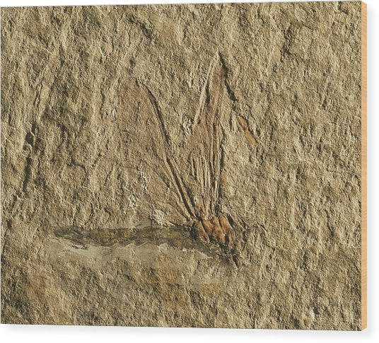 Libelluloidea Dragonfly Fossil Wood Print by Gilles Mermet