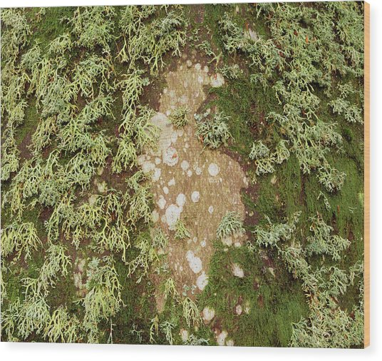 Lichen And Moss On Beech Tree Wood Print by Simon Fraser/science Photo Library