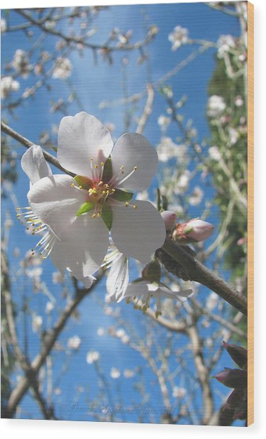 Like Stars In The Sky - Almond Blossoms Of Spring Wood Print