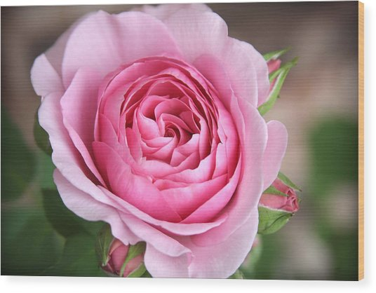 Lilac Rose Wood Print by CarolLMiller Photography