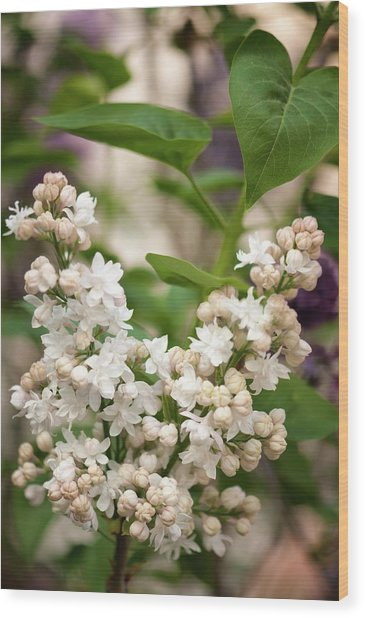 Lilac (syringa Vulgaris 'beauty Of Moscow') In Flower Wood Print by Maria Mosolova/science Photo Library