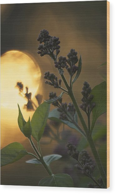 Lilacs At Sunset Wood Print