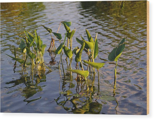 Lillies In Evening Glory Wood Print