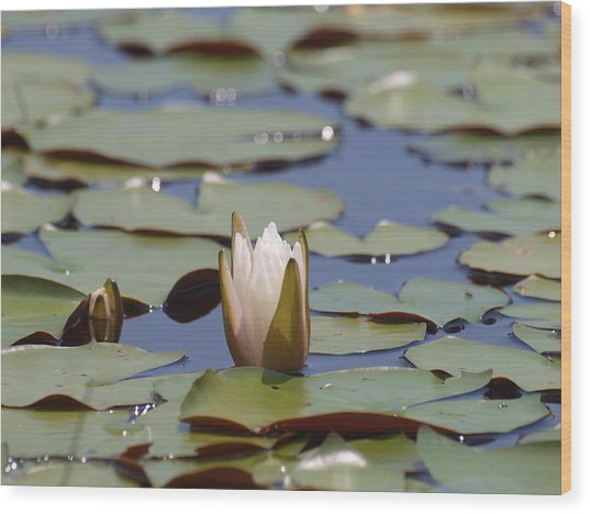 Lilly Pad With Bloom Wood Print by Daralyn Spivey