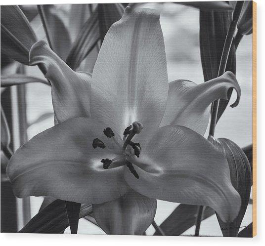 Lily 16 Wood Print
