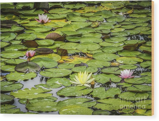 Lily Pads II Wood Print