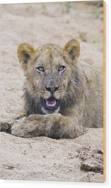 Lion Cub In Dry River Bed Wood Print by Sean McSweeney