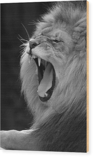 Lion Roar Black And White  Wood Print