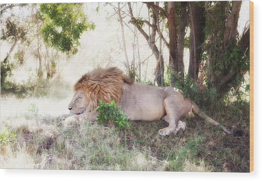 Lion Snoozing In The Afternoon Wood Print