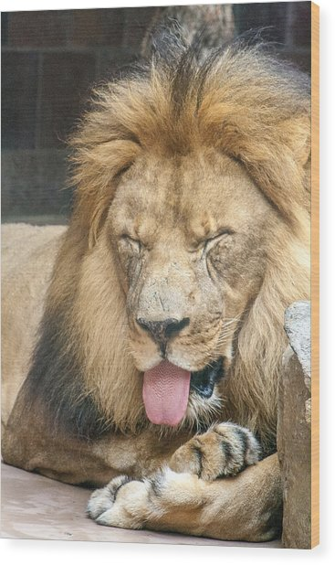 Lion Sticking Out Tongue Wood Print