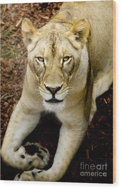 Lion-wildlife Wood Print