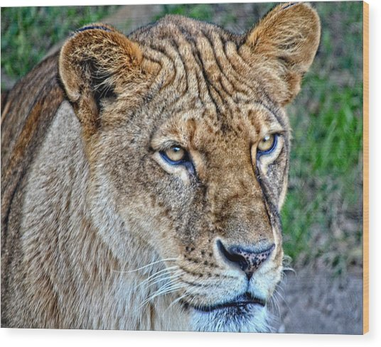 Lioness Deep In Thought Hdr Wood Print