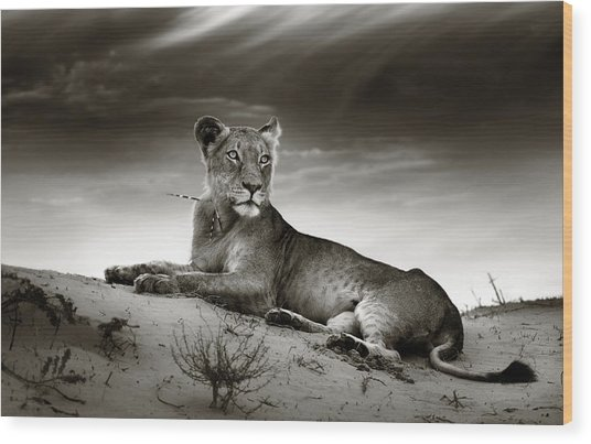 Lioness On Desert Dune Wood Print
