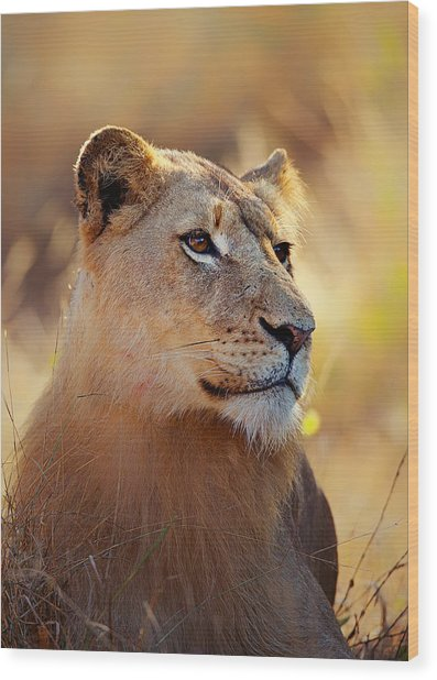 Lioness Portrait Lying In Grass Wood Print