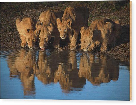 Lions Of Mara Wood Print