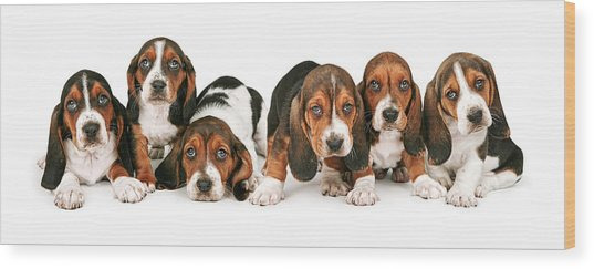 Litter Of Basset Hound Puppies Wood Print