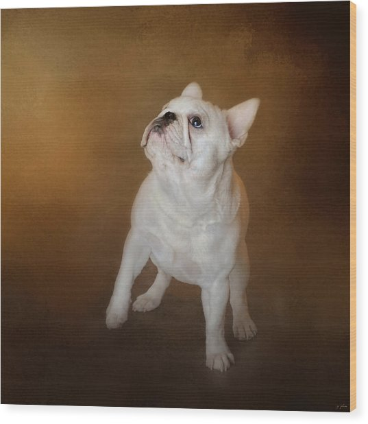 Little Beggar - White French Bulldog Wood Print