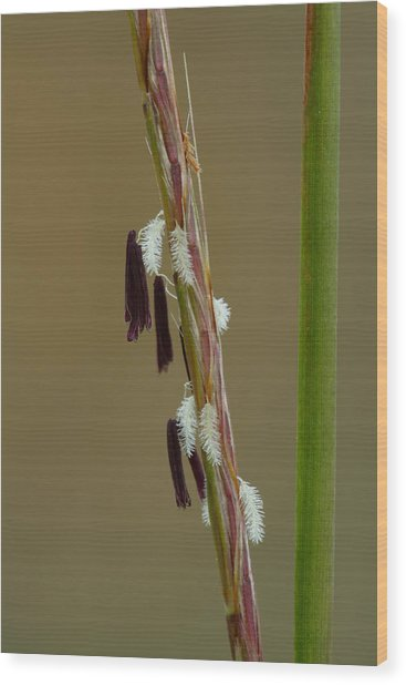Wood Print featuring the photograph Little Bluestem Grass Flowers by Daniel Reed