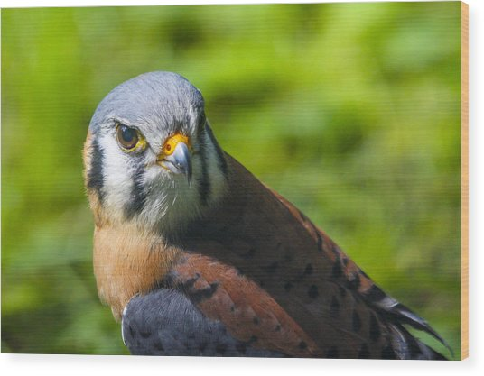 Little Falcon Wood Print