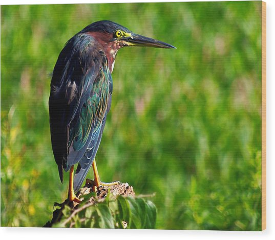 Little Green Heron 002  Wood Print by Chris Mercer