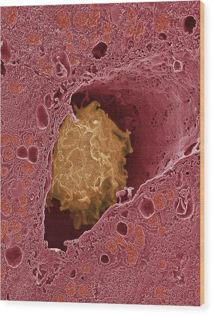 Liver Macrophage Cell Wood Print by Thomas Deerinck, Ncmir/science Photo Library