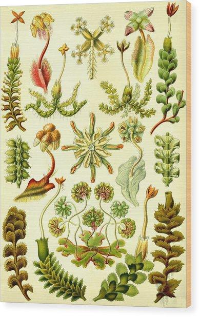 Liverworts Moss Brunnenlebermoos Haeckel Hepaticae Wood Print
