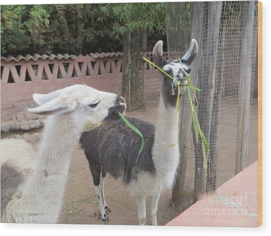 Llamas In Peru Wood Print