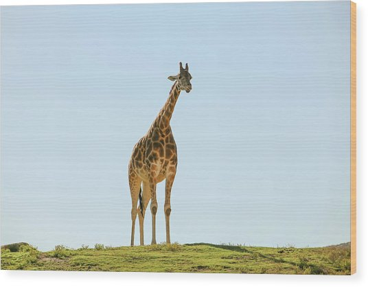 Lone Giraffe Wood Print by Daniela Duncan