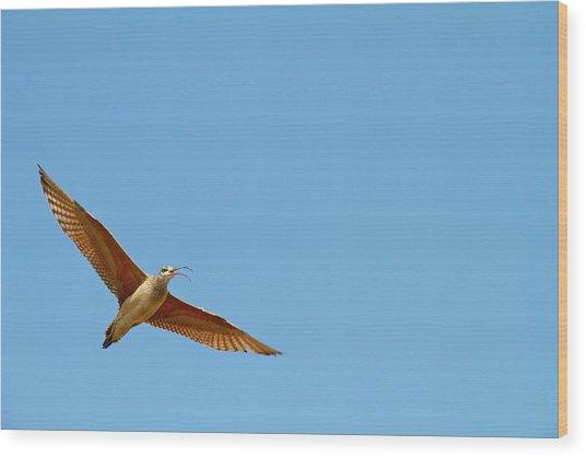 Long-billed Curlew In Flight Wood Print