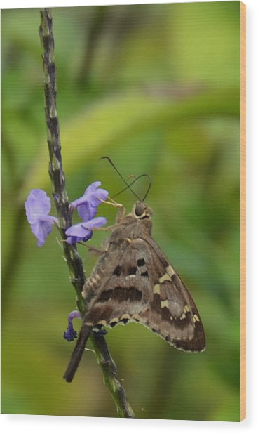 Long Tail Skipper Wood Print by Julie Cameron