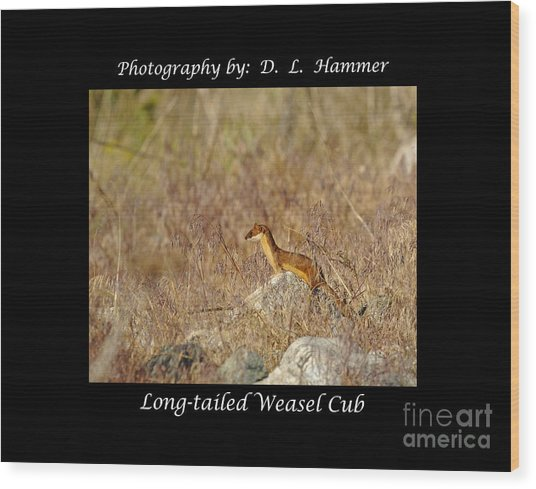 Long-tailed Weasel Cub Wood Print by Dennis Hammer