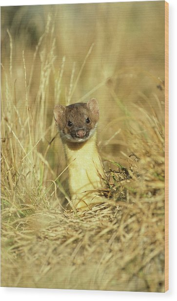 Long-tailed Weasel (mustela Frenata Wood Print by Richard and Susan Day