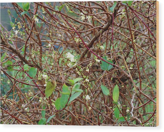 Lonicera X Purpusii Winter Beauty. Wood Print by Adrian Thomas/science Photo Library