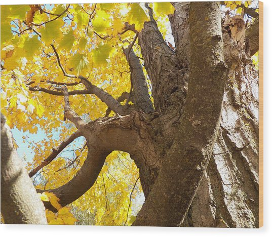 Looking Up The Maple Tree Wood Print