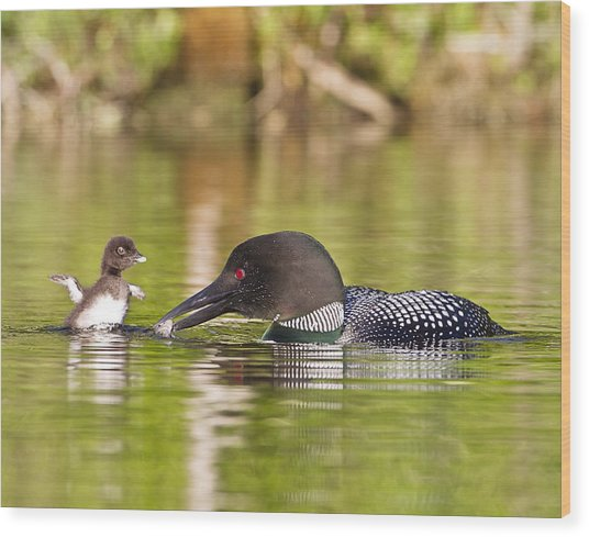 Loon Chick Excited For Breakfast Wood Print