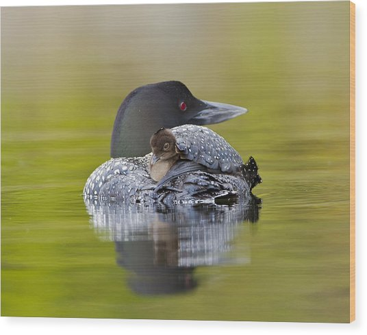 Loon Chick Resting On Parents Back Wood Print