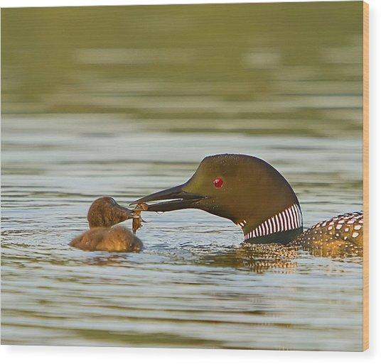 Loon Feeding Chick Wood Print