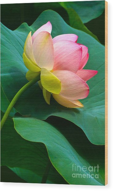 Lotus Blossom And Leaves Wood Print