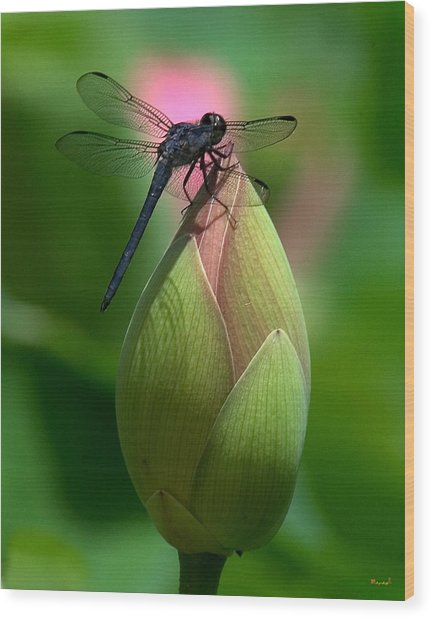 Lotus Bud And Slatey Skimmer Dragonfly Dl006 Wood Print