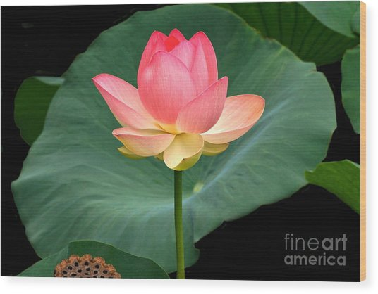 Lotus Of Late August Wood Print