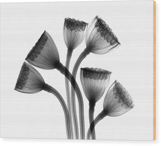 Lotus Seedheads Wood Print by Albert Koetsier X-ray