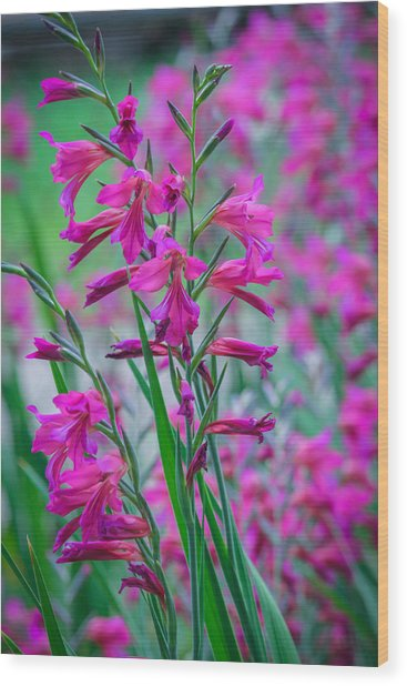 Louisiana Pink Iris Fulva Wood Print