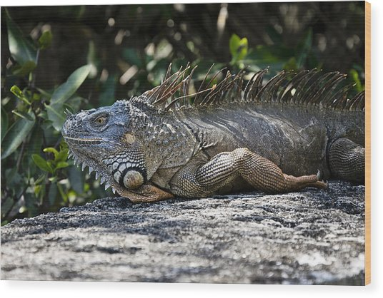 Lounging Lizard Wood Print