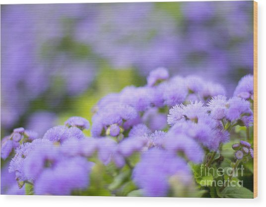 Lovely Blue Mink With Lavender Tones In Soft Focus Wood Print