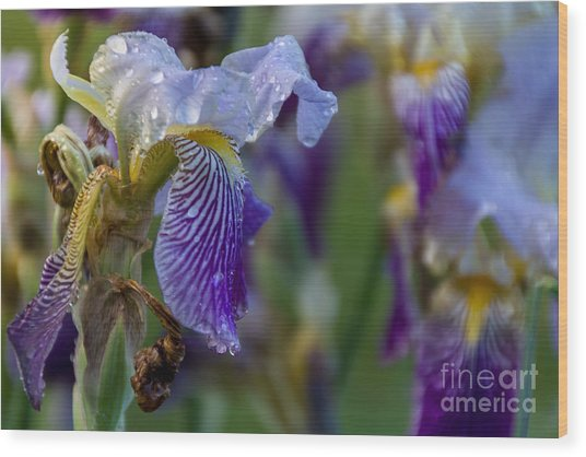 Lovely Iris Wood Print