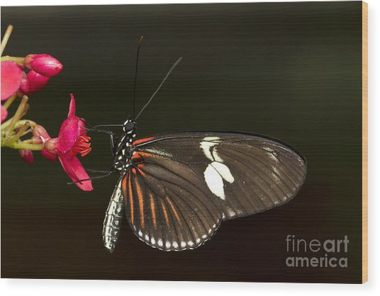 Lovely Longwing Wood Print