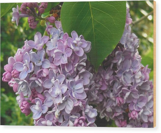 Lovely Luscious Lilacs Wood Print