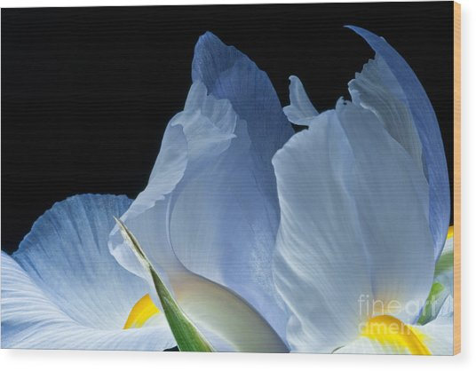 Lt Blue Iris 2013 Wood Print