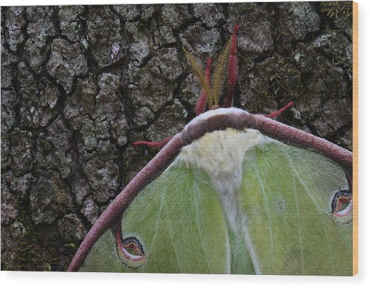 Wood Print featuring the photograph Luna Moth Detail by Daniel Reed