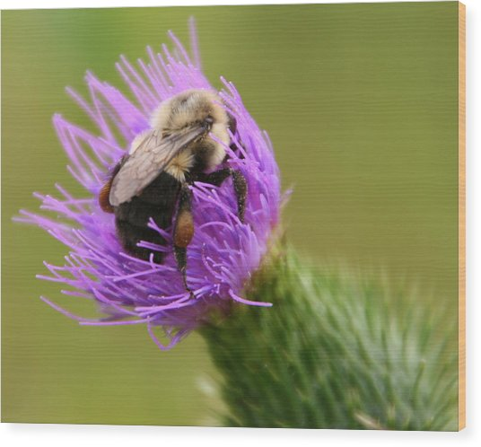 Lunching Atop A Thistle Wood Print